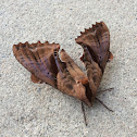 Blind-eyed Sphinx Moth