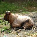 Himalayan high altitude goat