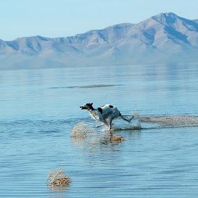 Skimming the lake by Karin Bennett - Animals - Dogs Running ( beach, running, borzoi )