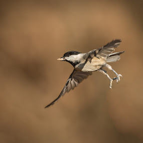 Gliding In by Roy Walter - Animals Birds ( flight, animals, nature, wildlife, birds, chickadee )