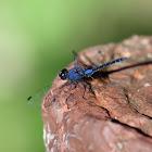 Indigo Dropwing (慶褐蜻)