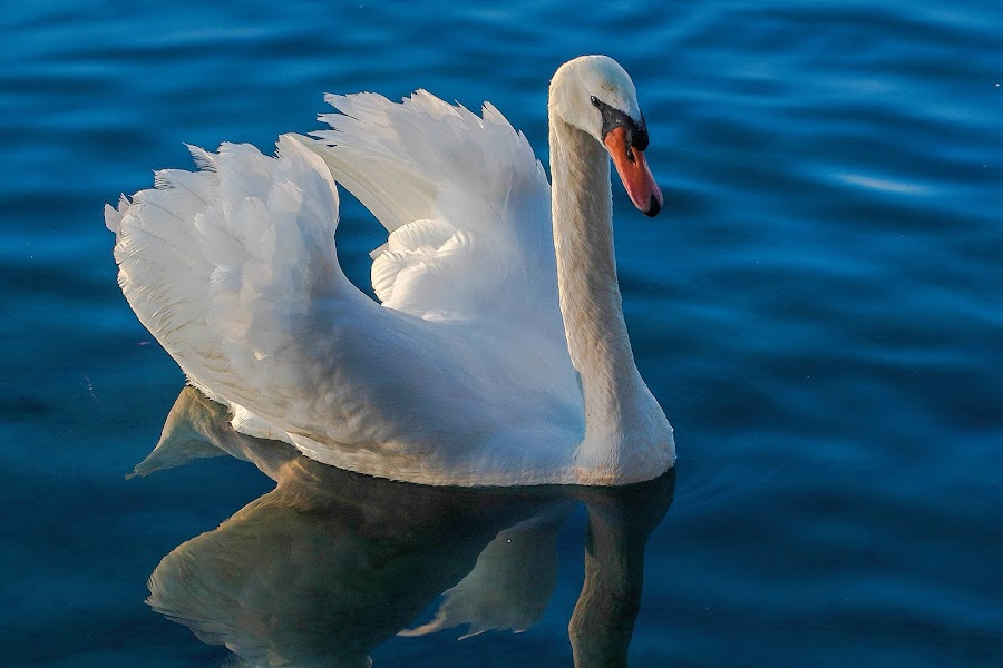 White Swan by Raymond Pauly - Animals Birds ( water, bird, reflection, beautiful, white, swan, lake, feathers )