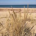 Beach grass, European marram grass, bent grass