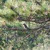 Mountain Bluebird. Female