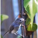 The Blue-gray Gnatcatcher