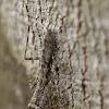 Bark mimicking Mantis