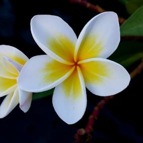 Indonesian flower by Lucien Vandenbroucke - Flowers Single Flower ( indonesia, flower )