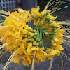 Yellow Peacock Flower