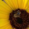 Male longhorned bee