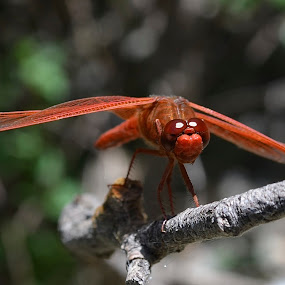 Hey, You Lookin' At Me by Ed Hanson - Animals Insects & Spiders ( red, nature, insect, dragonfly, close-up )