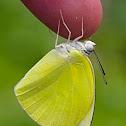 Lemon Migrant Butterfly