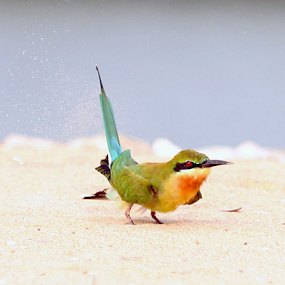 Playing with the sand....Blue-tailed Bee-eater by Nithya Purushothaman - Animals Birds