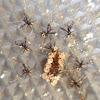 Spined Assassin Bug nymphs