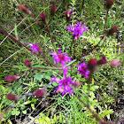 Common Ironweed