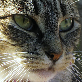 Hopie by Janet Young- Abeyta - Animals - Cats Portraits (  )