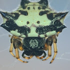 Spiny-backed Orb Weaver