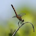Seaside Dragonlet Dragonfly