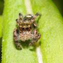 Jumping spider (immature)