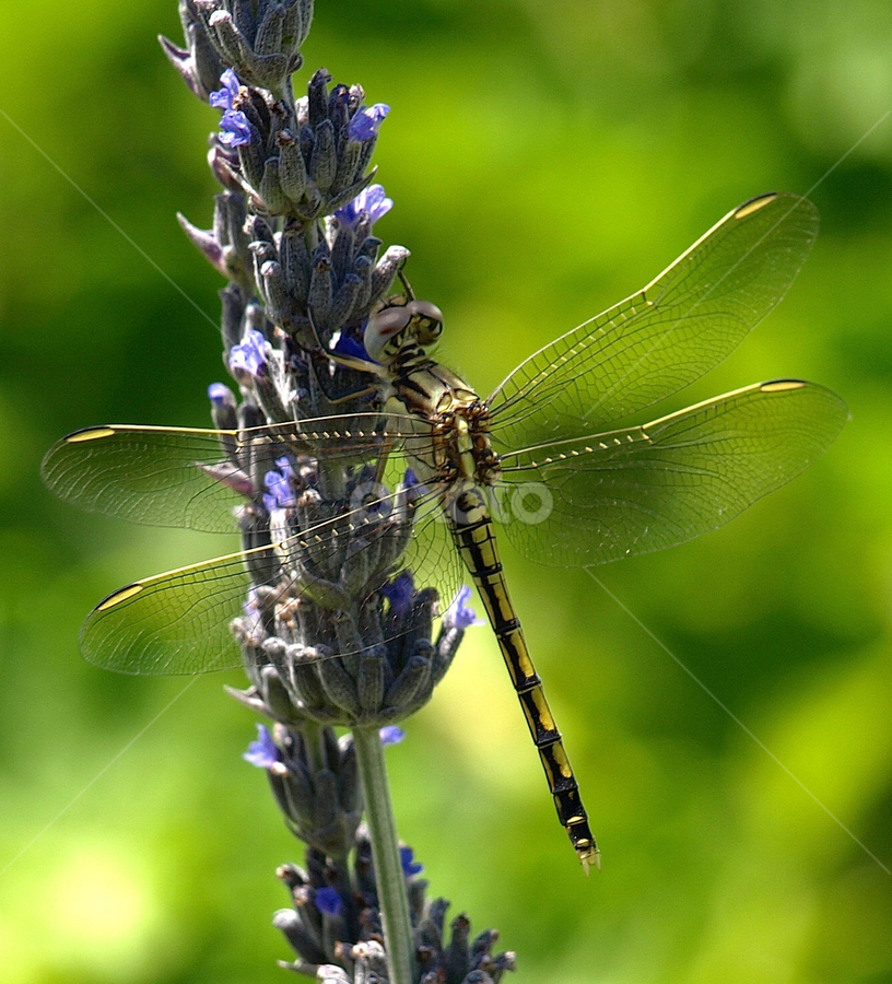 Resting by Ann Baldock - Animals Insects & Spiders ( plant, lavender, dragonfly )