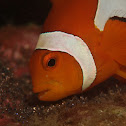 Nemo - False Clownfish & Embryos