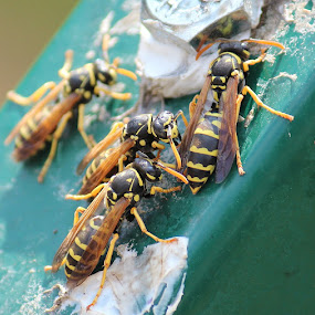 Hornets by Birgit Vorfelder - Animals Insects & Spiders ( macro, black and yellow, hornet, insect, close up,  )