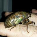 Cicada nymph