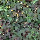 Creeping wood sorrel