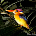Oriental Dwarf Kingfisher/Three-toed Kingfisher