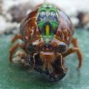 Subalpine Green Cicada