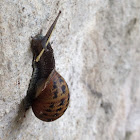 Common/Brown Garden Snail