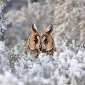 Owl portrait by Ion Alexandra - Animals Birds ( long eared owl,  )