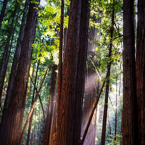 Sun Rays Through Redwoods by Justin Murazzo - Landscapes Forests ( santa rosa, saplings, being, piercing, higher, armstrong, through, beauty, sun, revive, contrast, tranquil, redwoods, daytime, nature, spiritual, emotions, giants, forests, earthly, peaceful, afternoon, california, jade, guerneville, green, beautiful, mood, tourism, scenic, relaxing, woods, sonoma, rays, northern, red, county, trees, brown, meditation, day, scenery, renewal, natural, the mood factory, inspirational, relax, tranquility,  )