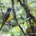 Maria-cavaleira (Short-crested flycatcher)