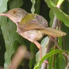 Common Tailorbird or Tuntuni