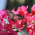 Wanderer Butterfly (Female)