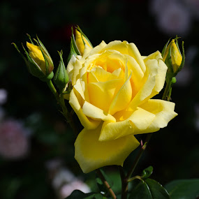 English Rose by Mike Hayter - Flowers Single Flower ( rose, petals, yellow, buds, english,  )