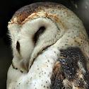 Barn Owl (Suindara)