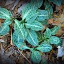 Rattlesnake Plantain