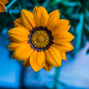gazania by Eseker RI - Flowers Flower Gardens (  )