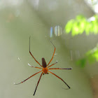 giant-wood spider male
