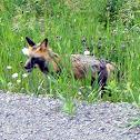 Red Fox (Cross Fox variant)