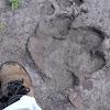 Hippo (tracks)