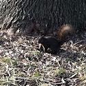 Black (Melanistic) Eastern Grey Squirrel
