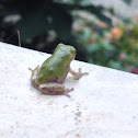 Grey Tree Frog (Juvenile)