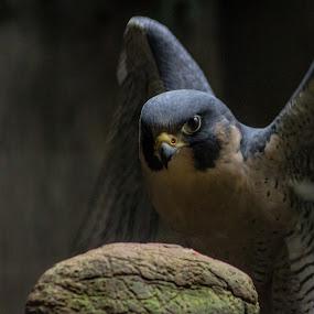 Peregrine Falcon by Stanton Hunter - Animals Birds ( bird, bird of prey, nature, rescue, falcon, peregrine falcon )