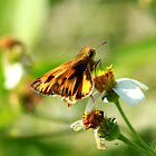 Fiery Skipper Butterfly