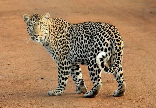 Jungle Animal Saga
