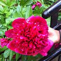 Paeonia officinalis 'Rubra Plena' double-flowered cultivar
