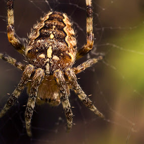 Spider by Steve Hird - Animals Insects & Spiders ( uk, england, detail, macro, bug, spider, insect, close up, garden, close-up, coventry )
