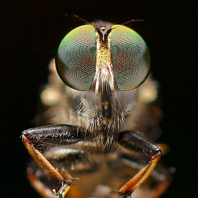 Robberfly by Ady Putra - Animals Insects & Spiders